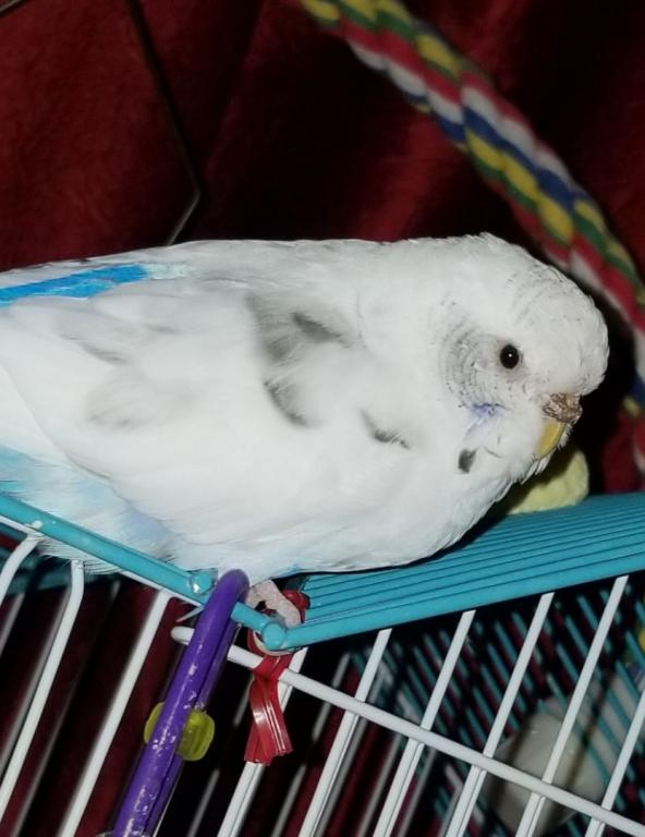 Is my budgie's cere normal-20190328_212619.jpg