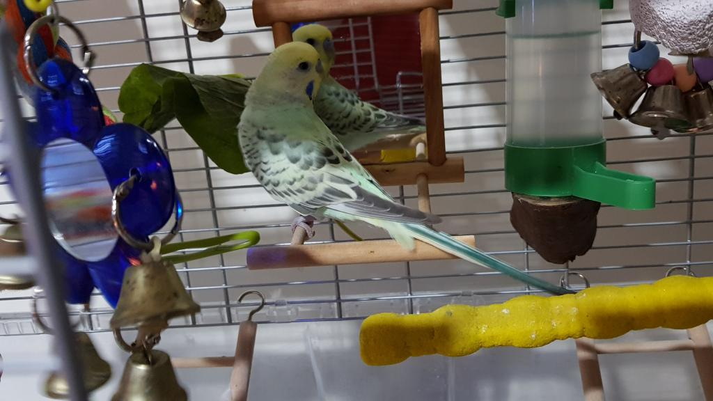 Budgie's obsession with the mirror-20190527_152418.jpg