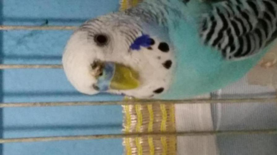 What's the brown stuff on his cere?It's not the crusty brown cere disease I know that-20190712_231116_1562965893766.jpg