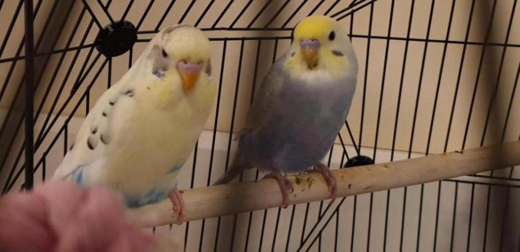 My 2 new birds-20200329_130329_1585520028209.jpg