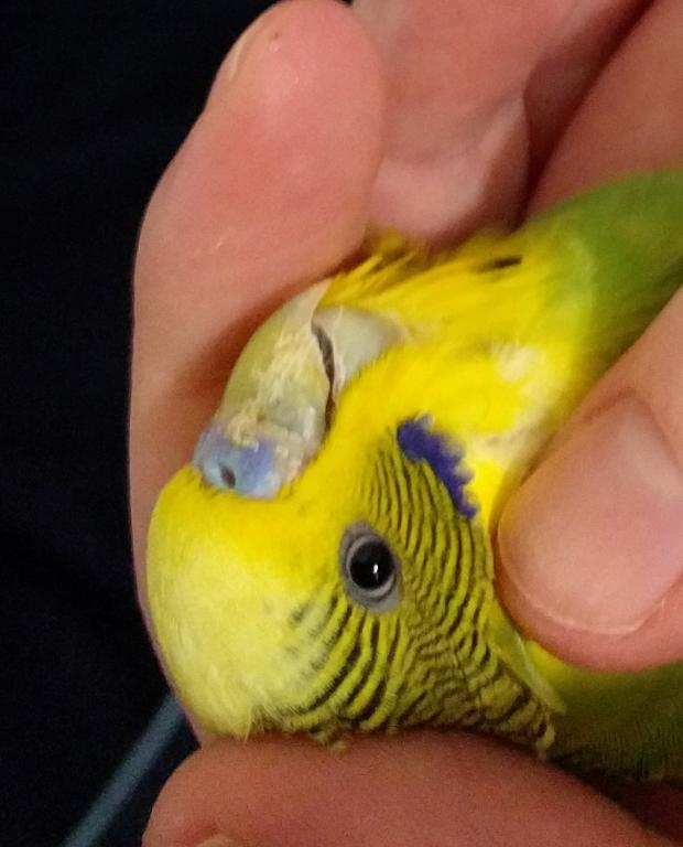 Is My Budgie Sick?-20841443_817075325132845_2041496332_o.jpg
