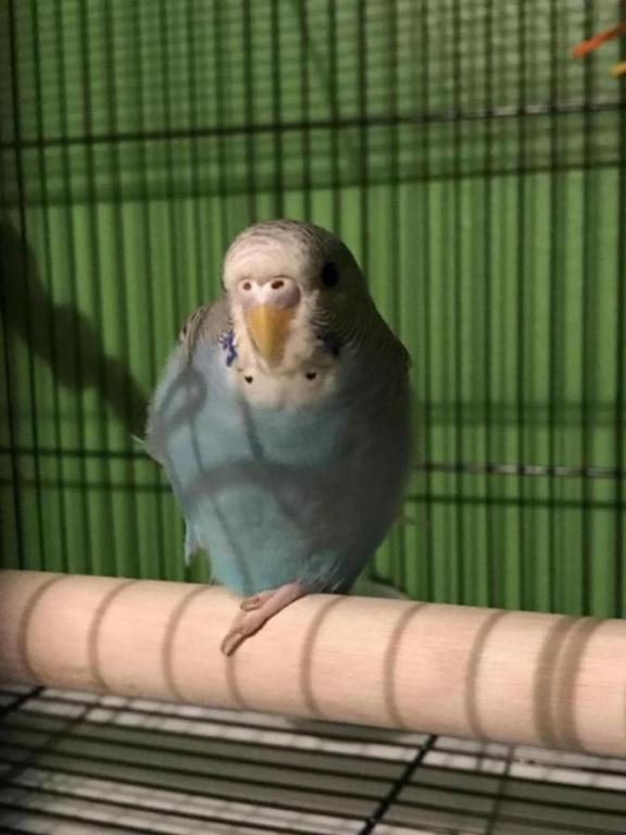 I think I mis-gendered my budgie!-2271a566-2cd3-4bfe-a41d-65b9e204672c_1535084174989.jpg
