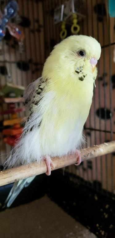 Help/Advice Please - Straggly feathers-23675120_780298918837355_5408619497868288785_o.jpg