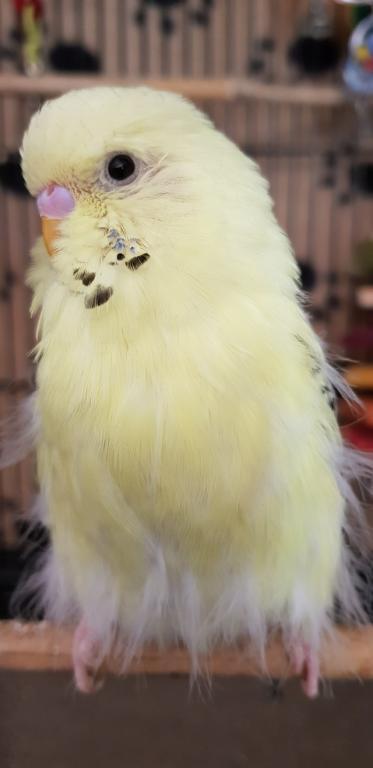 Help/Advice Please - Straggly feathers-23737575_780298942170686_3727719022991083751_o.jpg