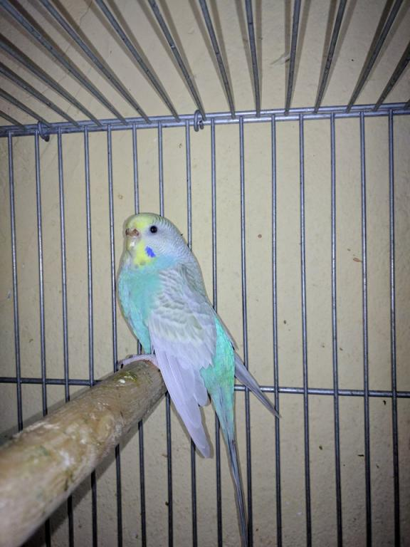 what is the mutation of this female?-25589709_2207561179269801_844582130_n.jpg