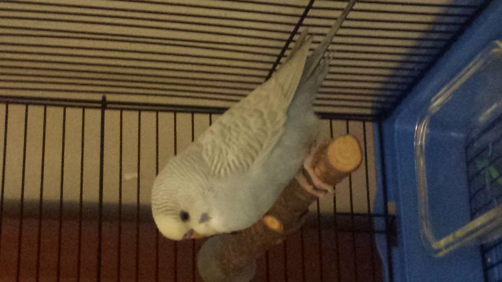 New Budgie - My first - Curious of his Age & Mutation?-3.jpg