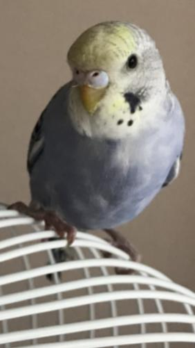 What Gender is my budgie-31c2bf21-a128-4cdd-a67d-c8e208a55ddf_1535921774229.jpg