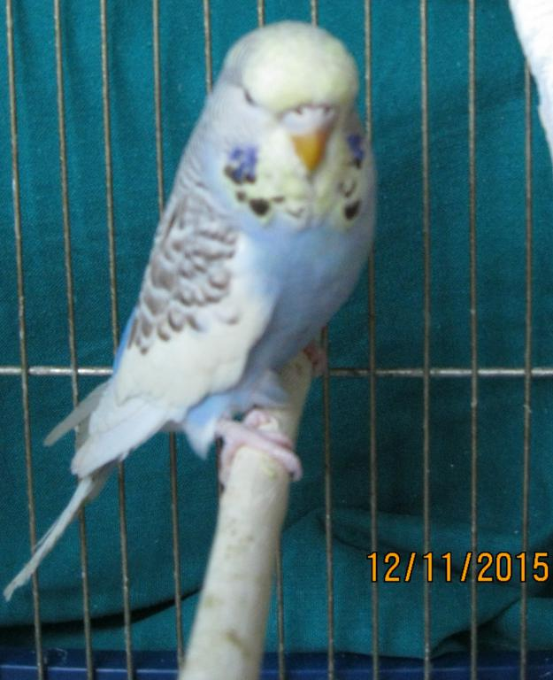 which kind of yellow face is my budgie-5.jpg