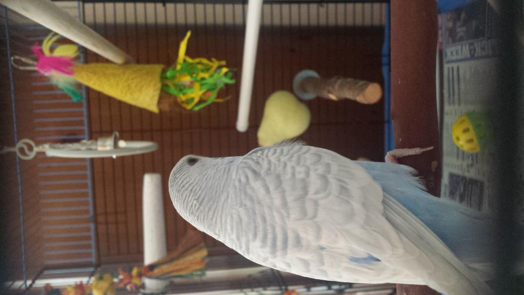 New Budgie - My first - Curious of his Age & Mutation?-5.jpg