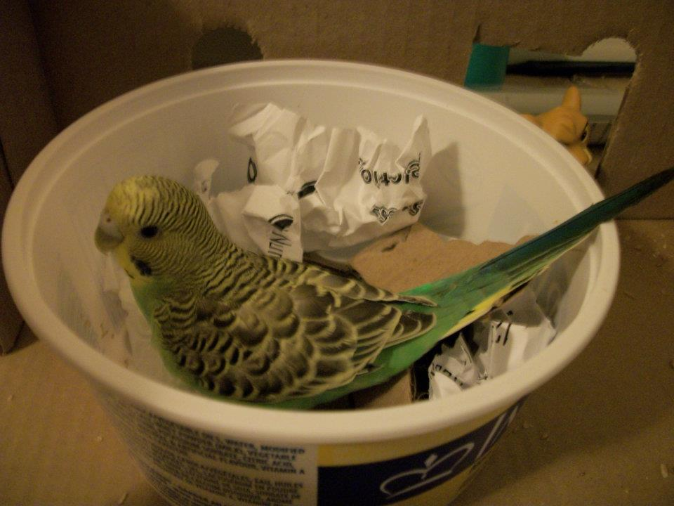 Fly High my beautiful budgie girl, Spyro :(-526705_540241665638_142700656_30689932_325818473_n.jpg