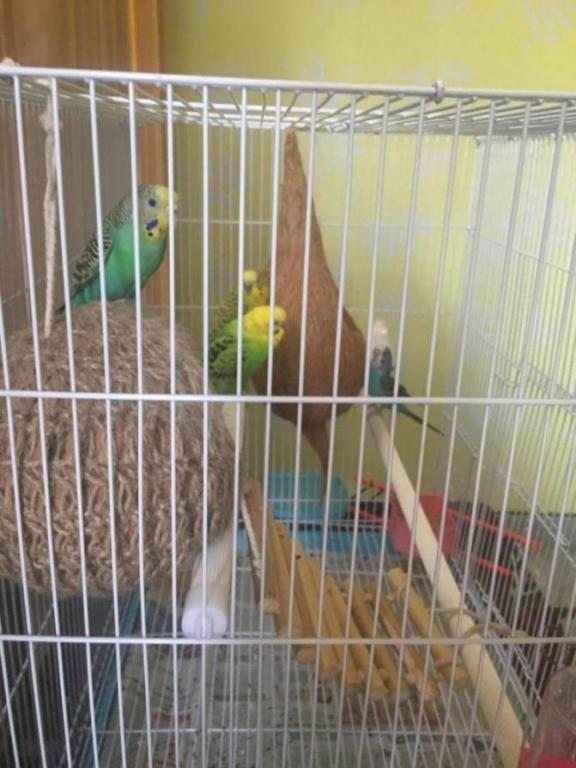 1 budgie is being picked on-6224a646-0475-4ace-b7e3-345b0a5d6130_1520493536388.jpg