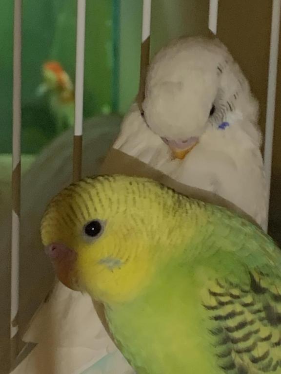 Sexing my birdies-6e367c47-f172-4f19-828b-65d6c8562425_1547432531757.jpg