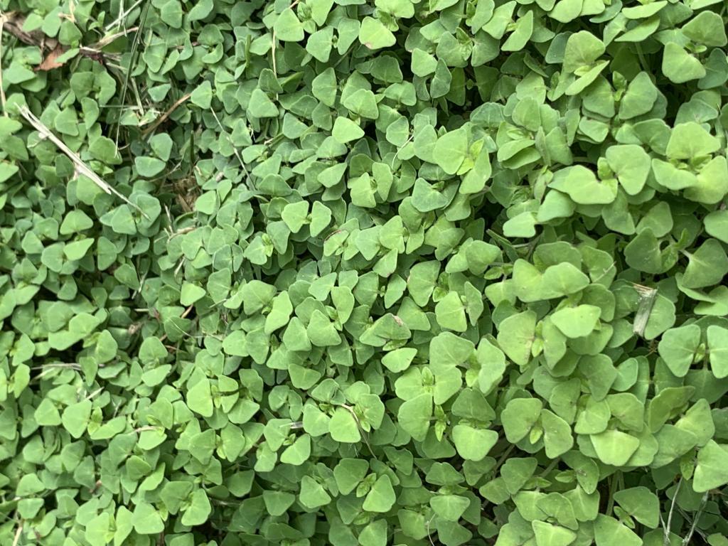 Can budgies eat chia seed plants?-6f297cbd-ff8e-4b37-af74-7c9b6291c881.jpg