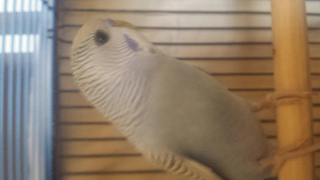 New Budgie - My first - Curious of his Age & Mutation?-7.jpg