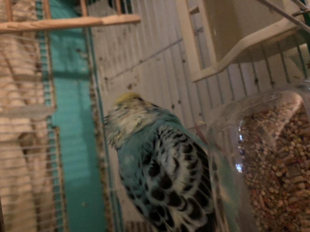 Budgie with spiky head feathers, swollen eyelids and wet head-73cf9a30-57ea-42fb-a314-905889caeddb_1610410933426.jpg