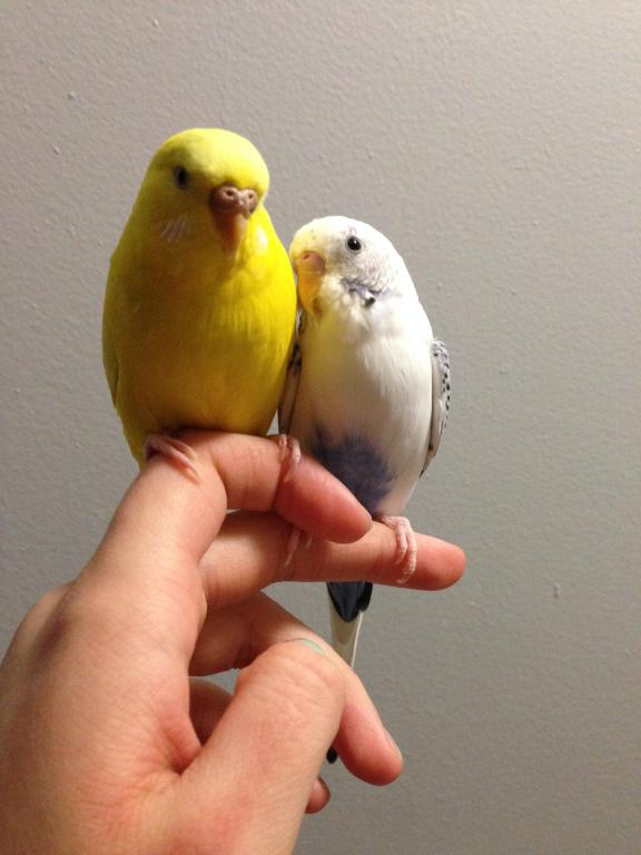 How can I tell if my budgie is going to have a baby?-783.jpg