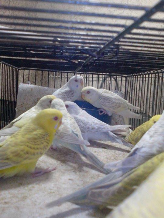 Newly birds born at my Aviary-8.jpg