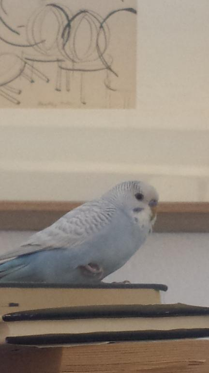 New Budgie - My first - Curious of his Age & Mutation?-8.jpg