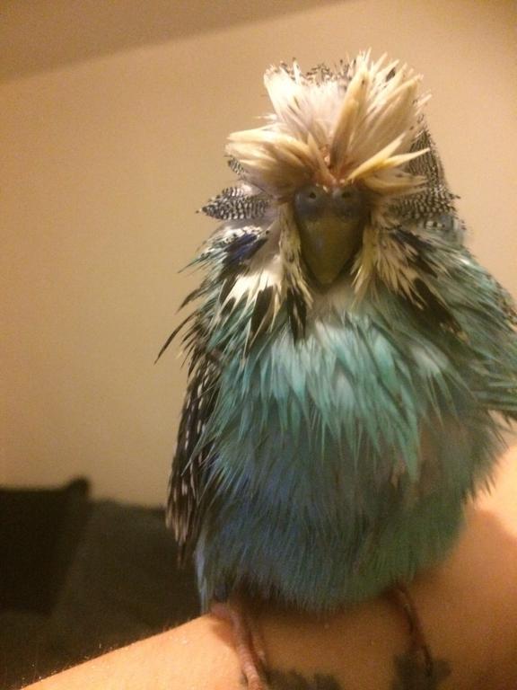 Sick budgie hard beak feathers-826ad3e7-ad3c-4f76-98aa-0e9834fddc7a.jpg