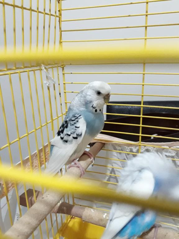 Help! Is my baby budgie going to be disabled?-930157cd-85a7-4dd3-b868-8ea69b4f7117.jpg