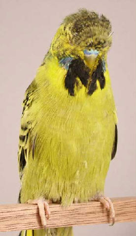 New budgie mutation-97165371.jpg