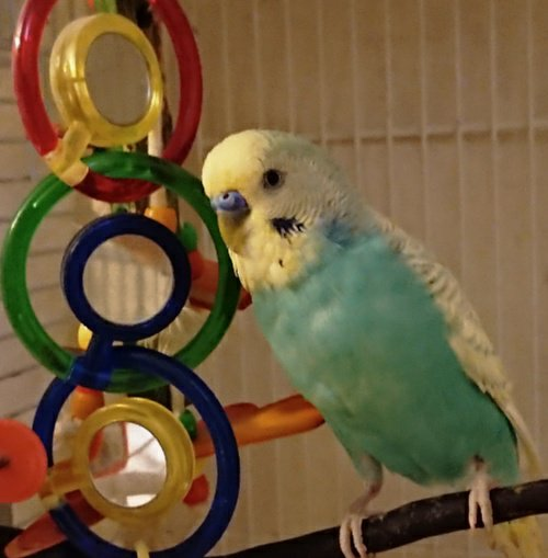 My budgie is extremely roudy and noisy-_20210107_192503.jpg