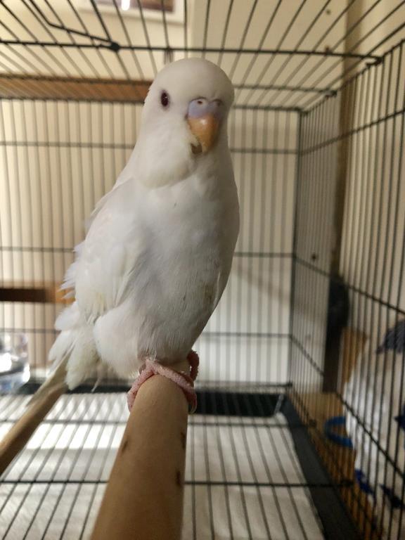 Albino budgie - male or female?-abb75d98-3d59-49b7-9711-ae62994e803e.jpg