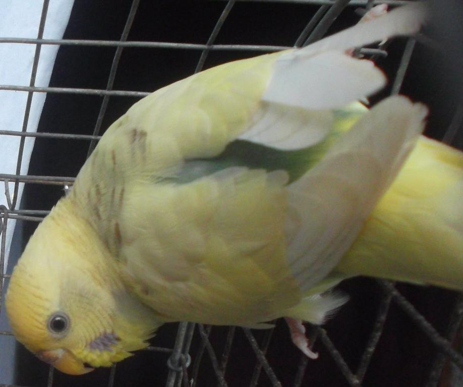 Don't know whether aggu (yellow budgie) is lutino or what..plz hlp..-aggu-_001.jpg