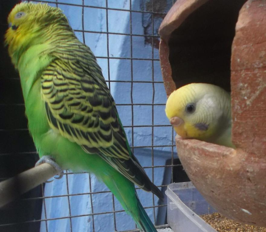 Don't know whether aggu (yellow budgie) is lutino or what..plz hlp..-aggu-shaby_001.jpg