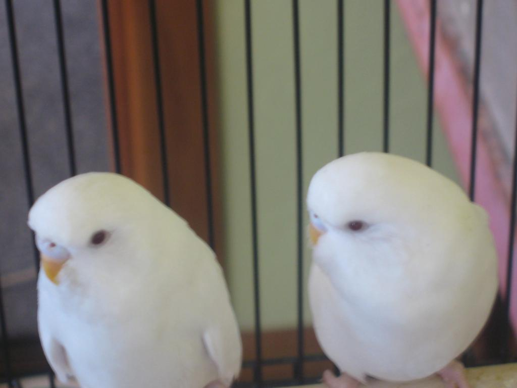 Any thoughts on the sex of these Albino's-albino-budgies-015.jpg