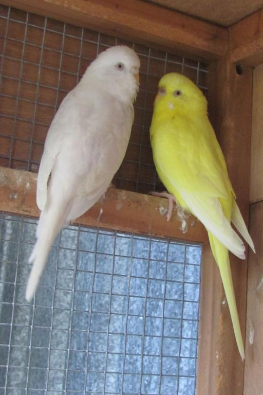 What colour budgies to put with who???-ava-chrisssey-website.jpg