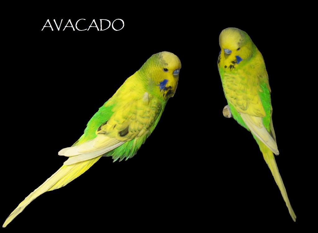 Gold face iris color-avacado.jpg