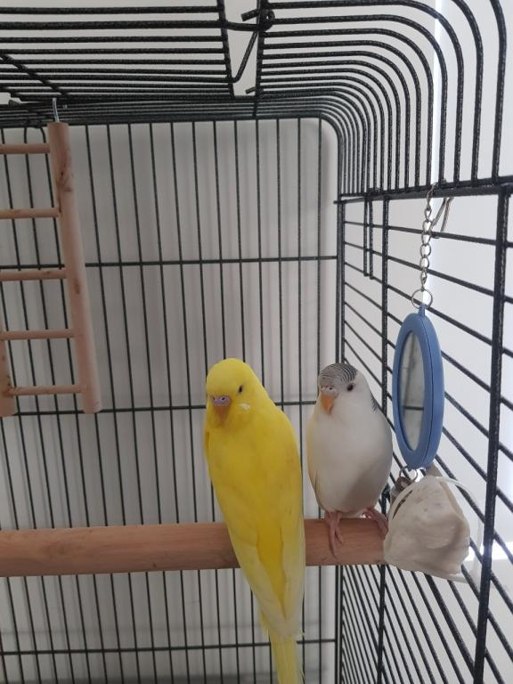 Sexing my budgies-avel-fiin.jpg