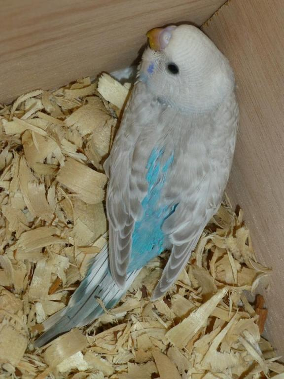 New baby is...sky blue greywing?-baby-2.jpg