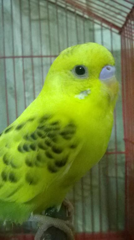 Barring on a recessive pied...-baby.jpg