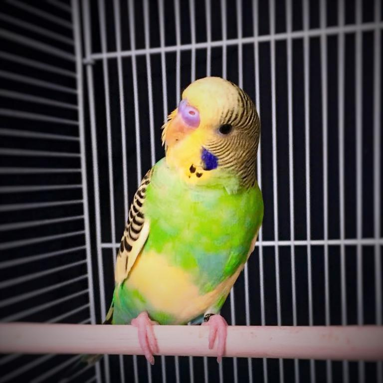 Brought home a new baby boy budgie-baby-severus.jpg