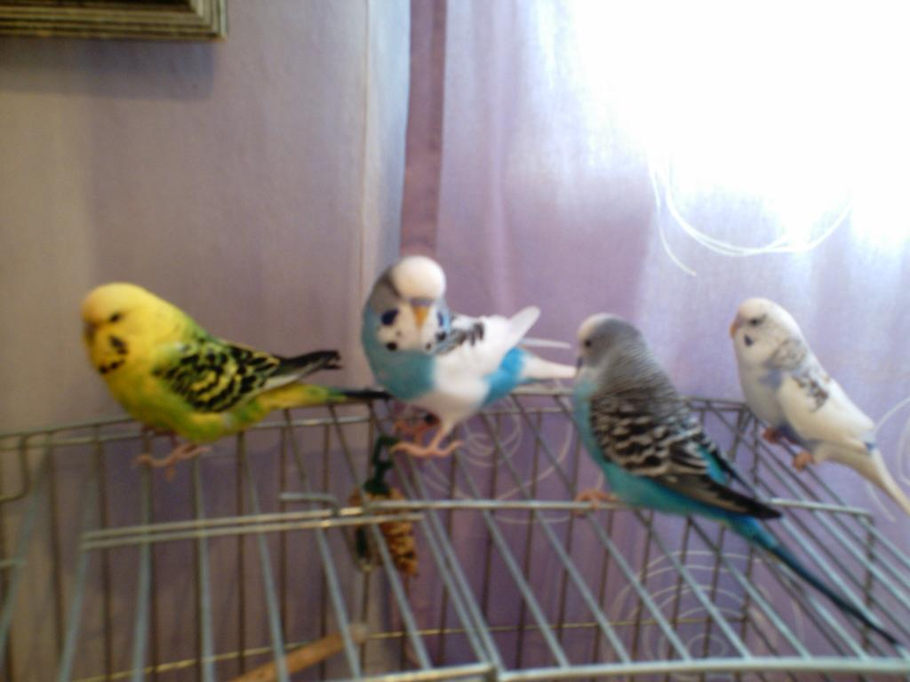 Violet and purple parakeets-banana-009.jpg