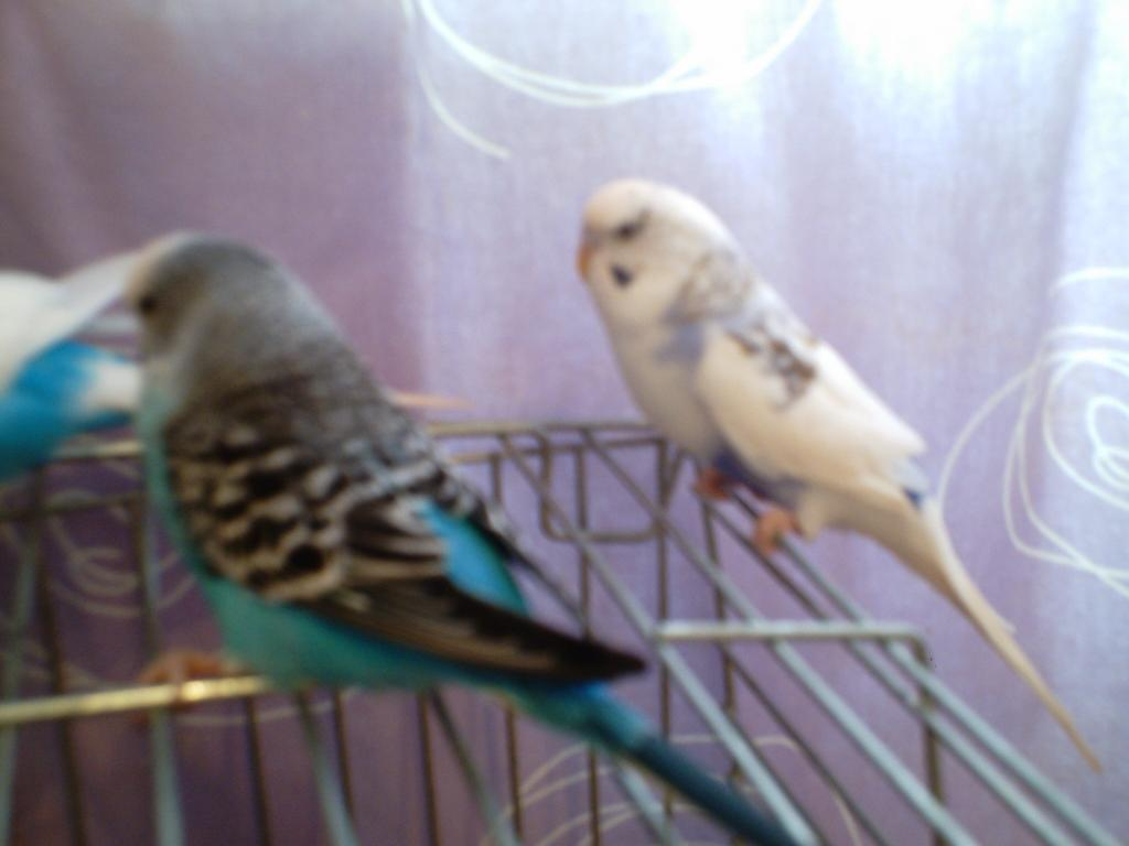 Violet and purple parakeets-banana-011.jpg