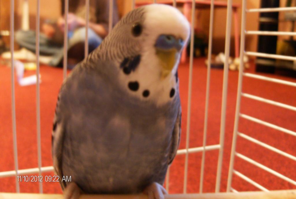 New Budgies mutations-baseball-065.jpg