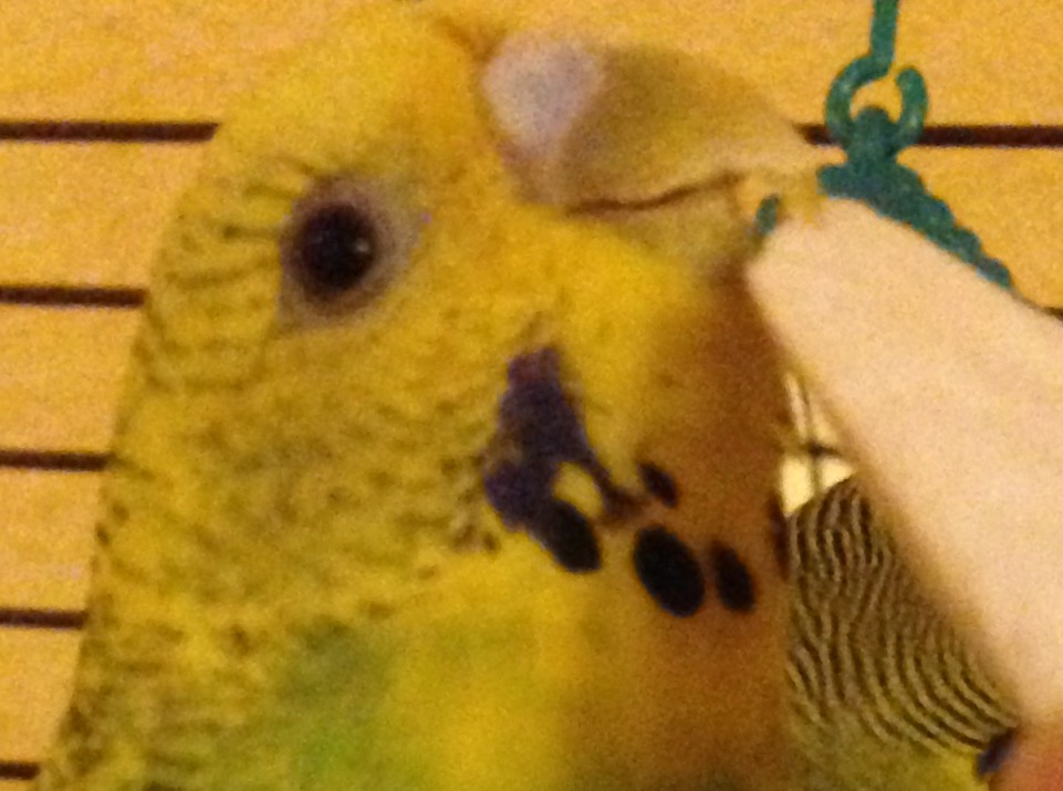 Does my budgie need a beak trim?-beakcosmo.jpg