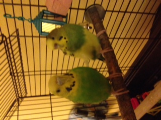 Does my budgie need a beak trim?-beakcosmo3.jpg