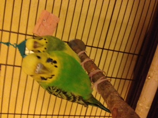 Does my budgie need a beak trim?-beakcosmo4.jpg