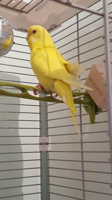 New Budgie help-bird.jpg