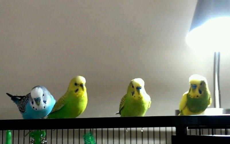 It's a soap opera around here-birdbrains.jpg
