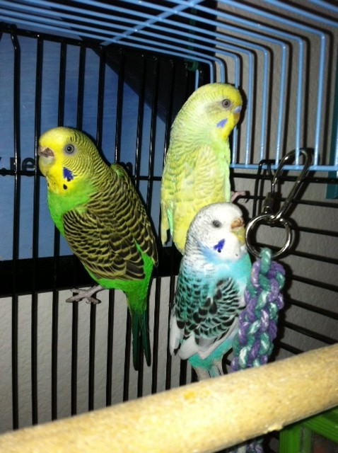 Strange Color - What is his mutation?-birds.jpg