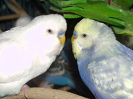 Can a Cobalt Violet be yellow face?-birds101.jpg