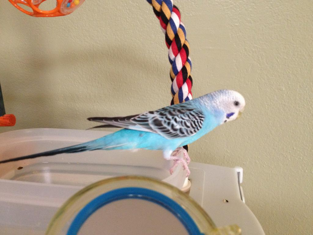 Help with mutation ID of my budgie bunch.-blue-barry-2.jpg