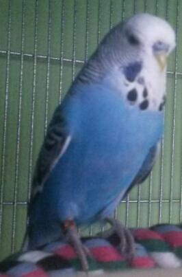 Budgie's odd little habit-bluebell.jpg