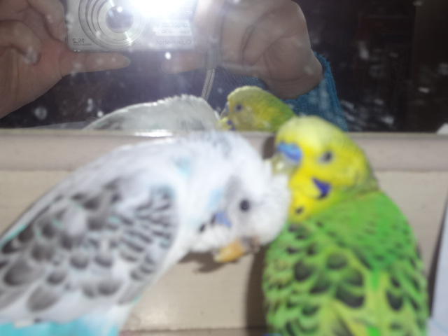 Blue parakeet flew away-bolt-3-.jpg