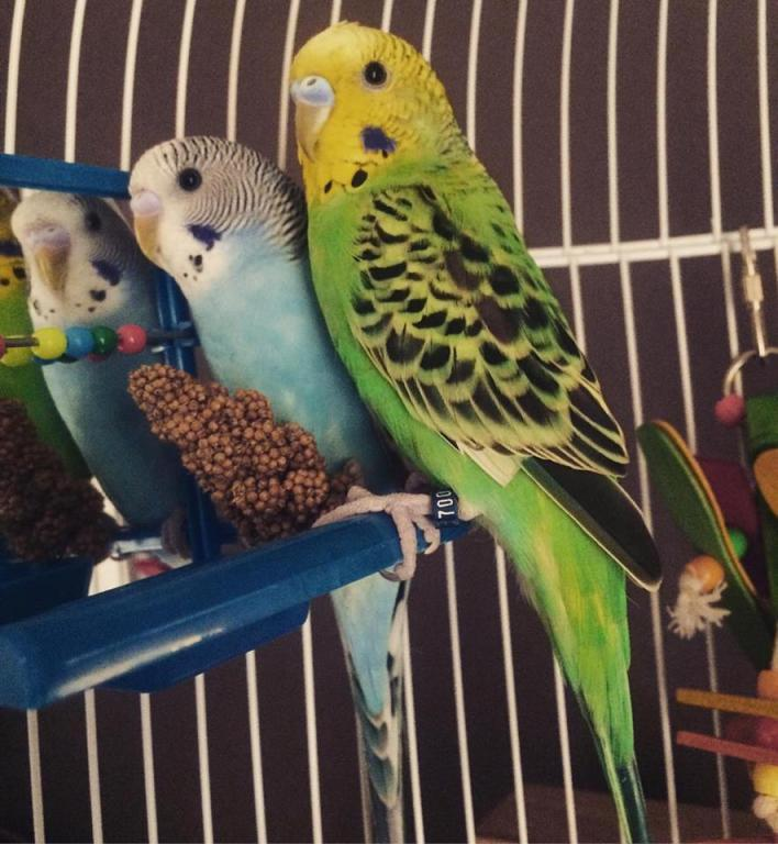 Reliant budgies-borb.jpg